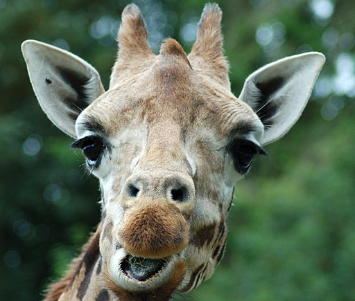 "Giraffe saying ""hi there"""